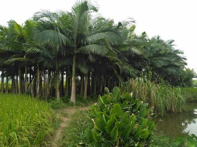 广西壮族自治区来宾市兴宾区造型假槟榔树