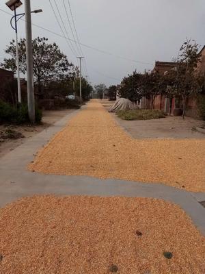 陕西省咸阳市永寿县混合玉米粒 毛货 水份14%-16%