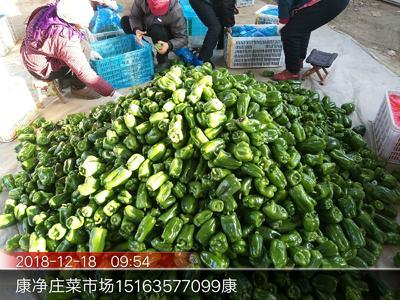 山东省聊城市莘县圆椒 10~15cm 甜辣 靑色