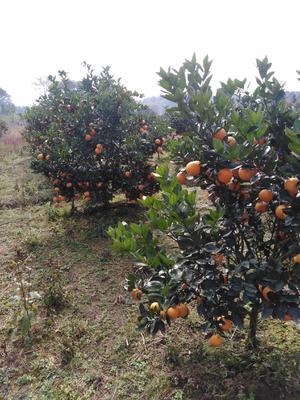 这是一张关于蜜香橙 65 - 70mm 4-8两的产品图片