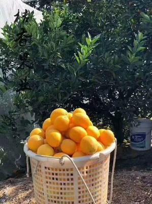这是一张关于血橙 75 - 80mm 4-8两的产品图片