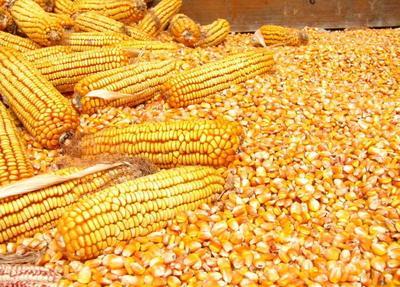 河北省衡水市深州市玉米干粮 杂质很少 水份14%-16%