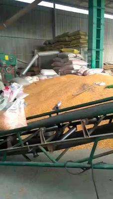 山西省临汾市隰县玉米干粮 杂质很少 水份14%-16%