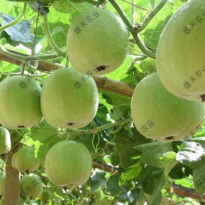 山东省济南市槐荫区香芋冬瓜种子 种子