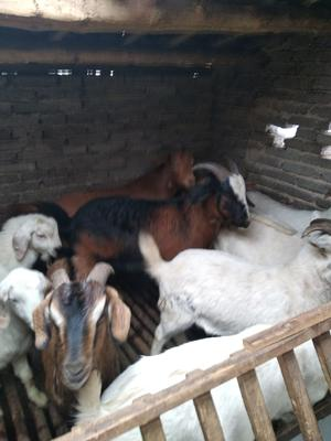 这是一张关于白山羊 80-110斤的产品图片