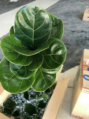 这是一张关于120琴叶榕盆栽的产品图片