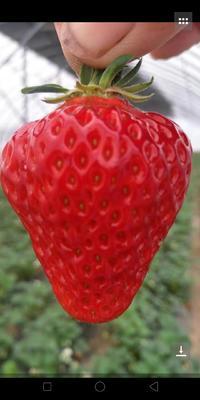 这是一张关于宁玉草莓 20克以上的产品图片