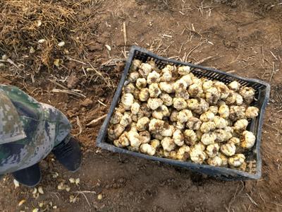 山东省潍坊市高密市百合  出售百合种球和商品