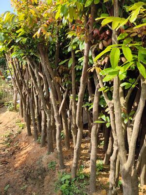 这是一张关于石峡龙眼树苗的产品图片