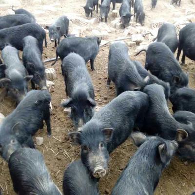 这是一张关于藏香猪 80斤以上的产品图片