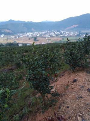 江西省赣州市于都县现榨山茶油
