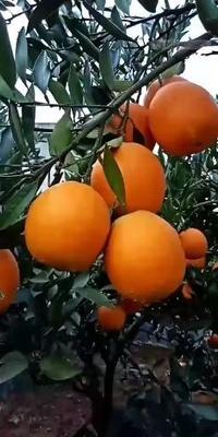 这是一张关于金堂脐橙 65.0mm 4-8两 60mm以上的产品图片