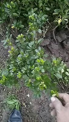 浙江省宁波市鄞州区夏鹃 0.5米以下