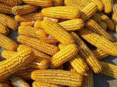 陕西省延安市洛川县玉米干粮 毛货 水份14%-16%