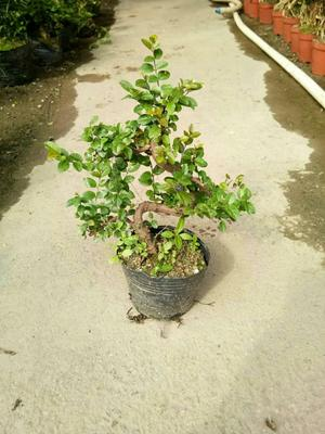 这是一张关于造型雀梅盆栽的产品图片