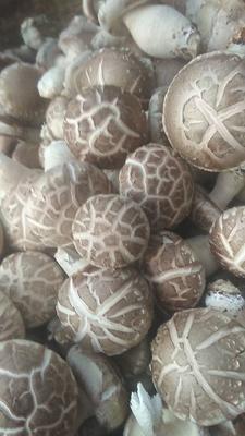 河南省三门峡市灵宝市花菇干 散装 半年