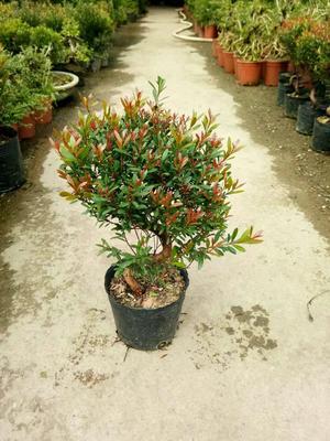 这是一张关于造型赤楠盆栽的产品图片
