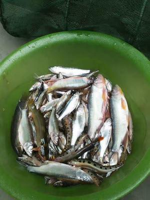 陕西省安康市平利县野生河鳊鱼 野生 0.5公斤以下
