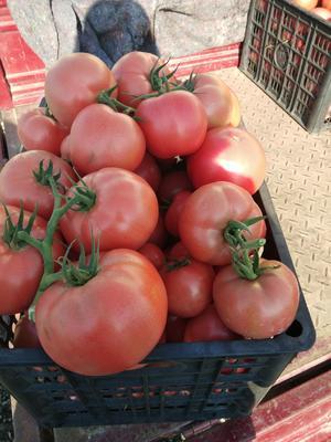 山东省日照市东港区硬粉番茄 通货 弧二以上 硬粉