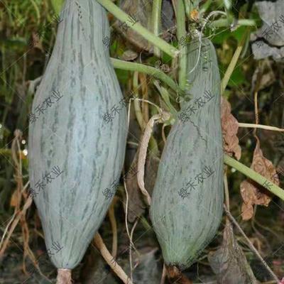 贵族南瓜种子 85%