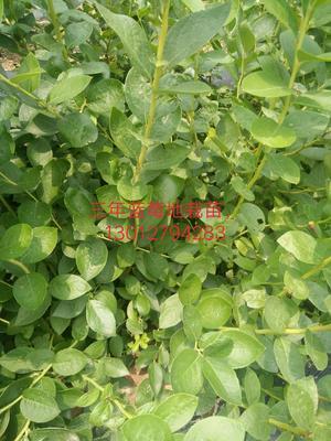 这是一张关于蓝莓组培苗的产品图片