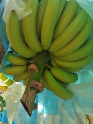这是一张关于河口香蕉 七成熟的产品图片