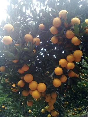 这是一张关于黔阳冰糖橙 60 - 65mm 4两的产品图片