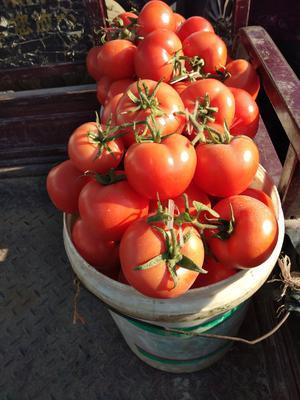 山东省日照市东港区大红西红柿 通货 弧二以上 大红