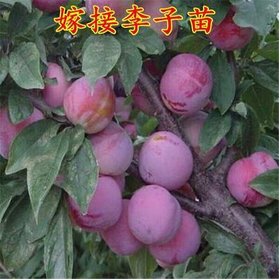 这是一张关于脆红李苗的产品图片