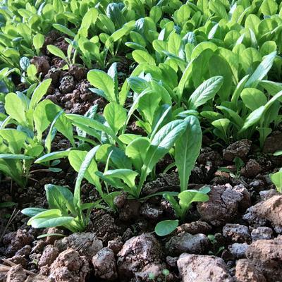 这是一张关于莴笋苗的产品图片
