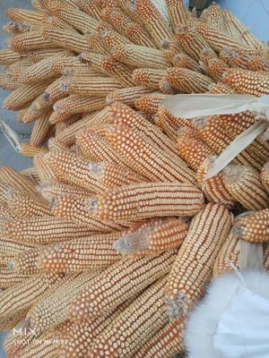甘肃省平凉市庄浪县先玉335玉米粒 杂质很少 水份14%-16%