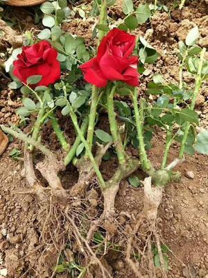 玫瑰苗 地栽苗