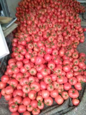 山东省临沂市费县粉果番茄 通货 硬粉 弧三以上