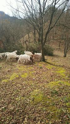 这是一张关于波杂山羊 50-80斤的产品图片