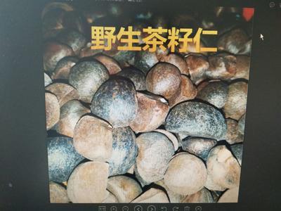安徽省黄山市黄山区油茶籽 野生