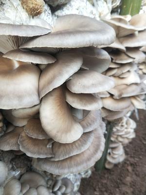 河北省邯郸市肥乡县蘑菇