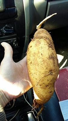 这是一张关于龙薯九号 混装通货 白皮的产品图片