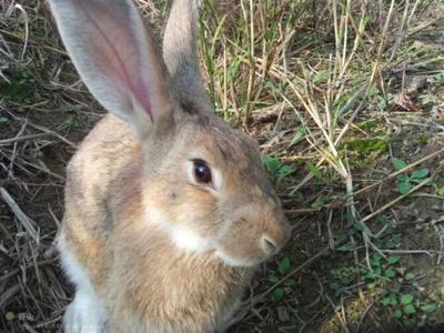 这是一张关于杂交野兔 3-5斤的产品图片