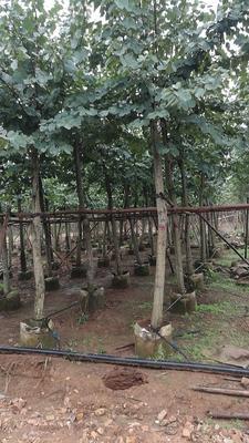 广西壮族自治区柳州市柳江县岭南洋紫荆树