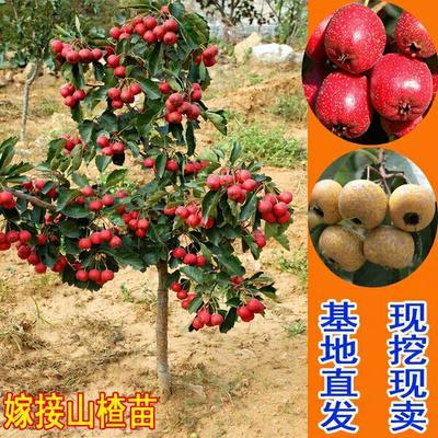 这是一张关于大绵球山楂树苗的产品图片