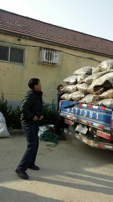 山东省临沂市沂水县大黄姜 4~6两 带土