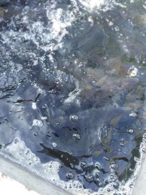 这是一张关于野生鲤鱼 野生 1-2.5公斤的产品图片