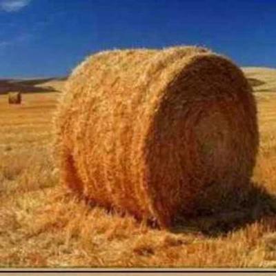 这是一张关于玉米秸秆的产品图片