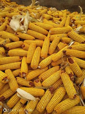 这是一张关于玉米湿粮 杂质很少 水份20%-30%的产品图片