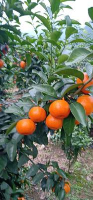 广西壮族自治区桂林市临桂县沙糖桔 3 - 3.5cm 1两以下