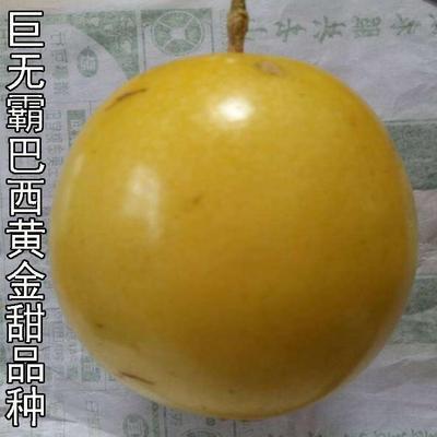 广西壮族自治区钦州市灵山县巨无霸百香果苗