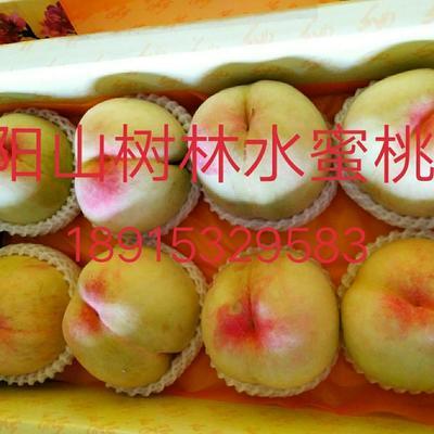 江苏省无锡市惠山区阳山水蜜桃 60mm以上 5两