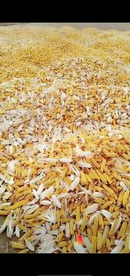内蒙古自治区兴安盟扎赉特旗中地88玉米粒 净货 水份14%-16%