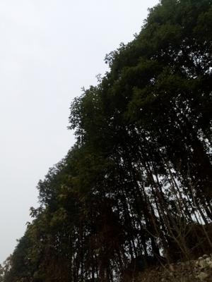 四川省成都市都江堰市普通水杉
