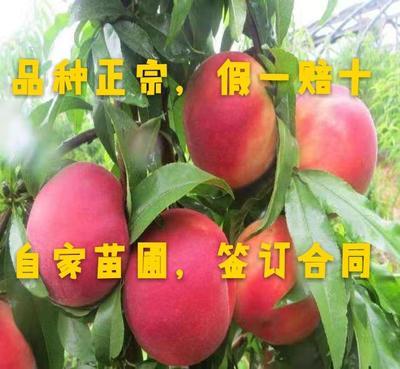 国庆王桃苗 0.5~1米